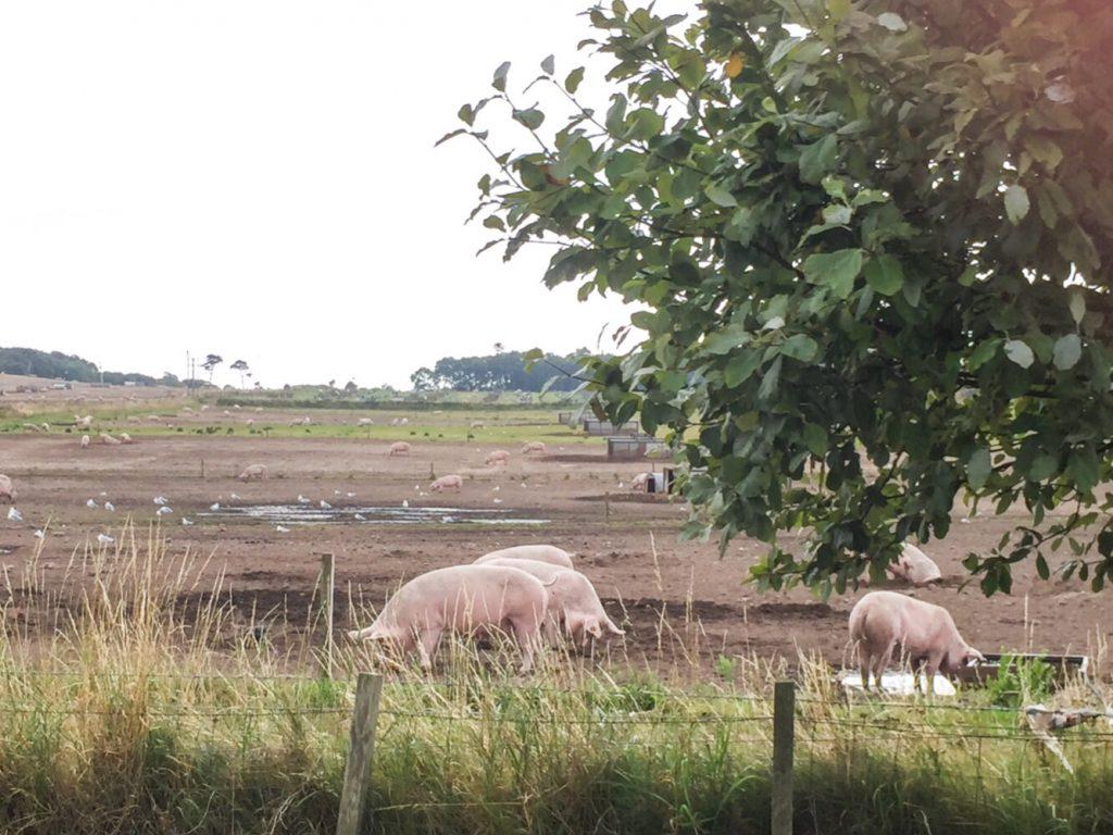 ... nochmals glückliche Schweine in Hopeman ...