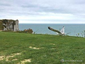 Möwe beim Golfplatz mit Blick auf die Klippen von Étretat
